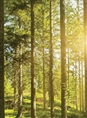 Click Props Background Vinyl with Print Sunshine Forest 2.13 x 2.90M
